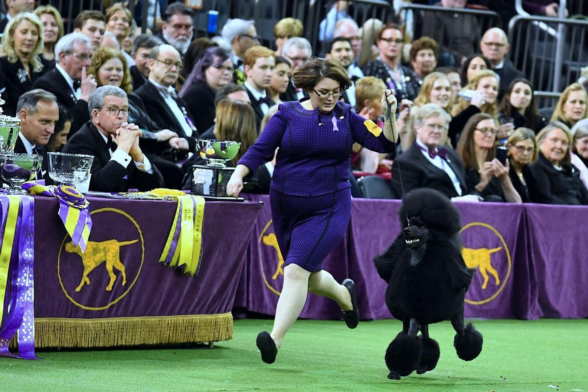 Siba, the standard poodle, competes before winning Best In Show.