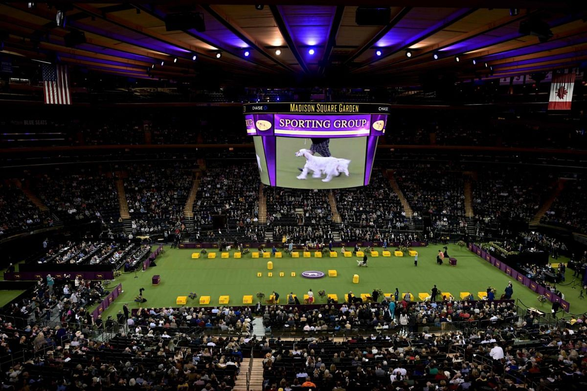 A dog competes in the sporting group of the 144th annual Westminster Kennel Club Dog Show.