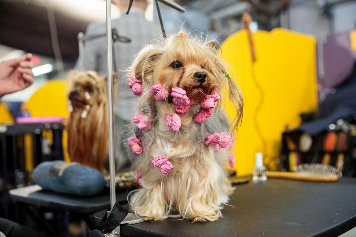 A Yorkshire terrier is prepped on a table at the Westminster Kennel Club Dog Show.