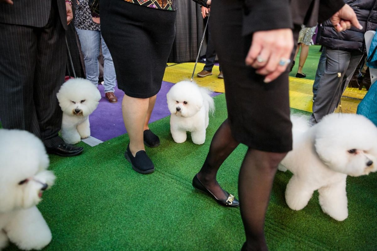 Bichon frises wait to be judged at the Westminster Kennel Club Dog Show.