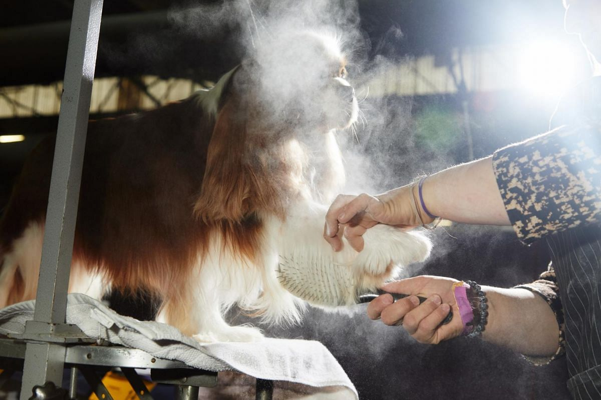 A cavalier King Charles spaniel is groomed at the Westminster Kennel Club Dog Show.