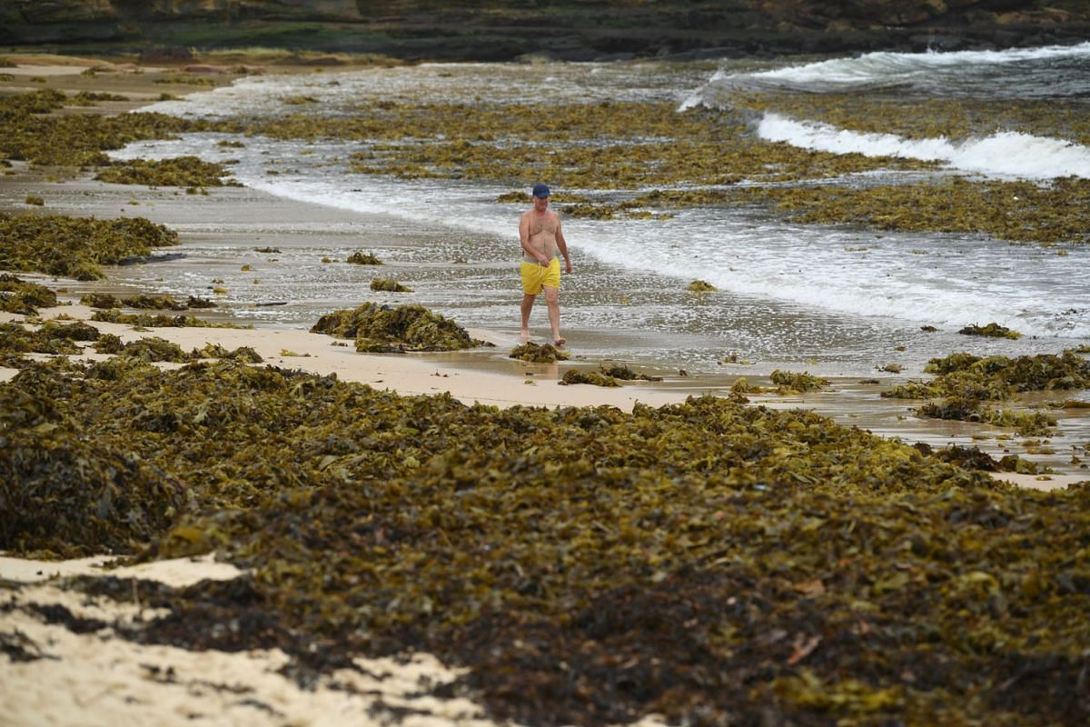A man walks past a large pile of seaweed washed ashore on Coogee Beach in Sydney, Australia, February 13, 2020. PHOTO: EPA-EFE