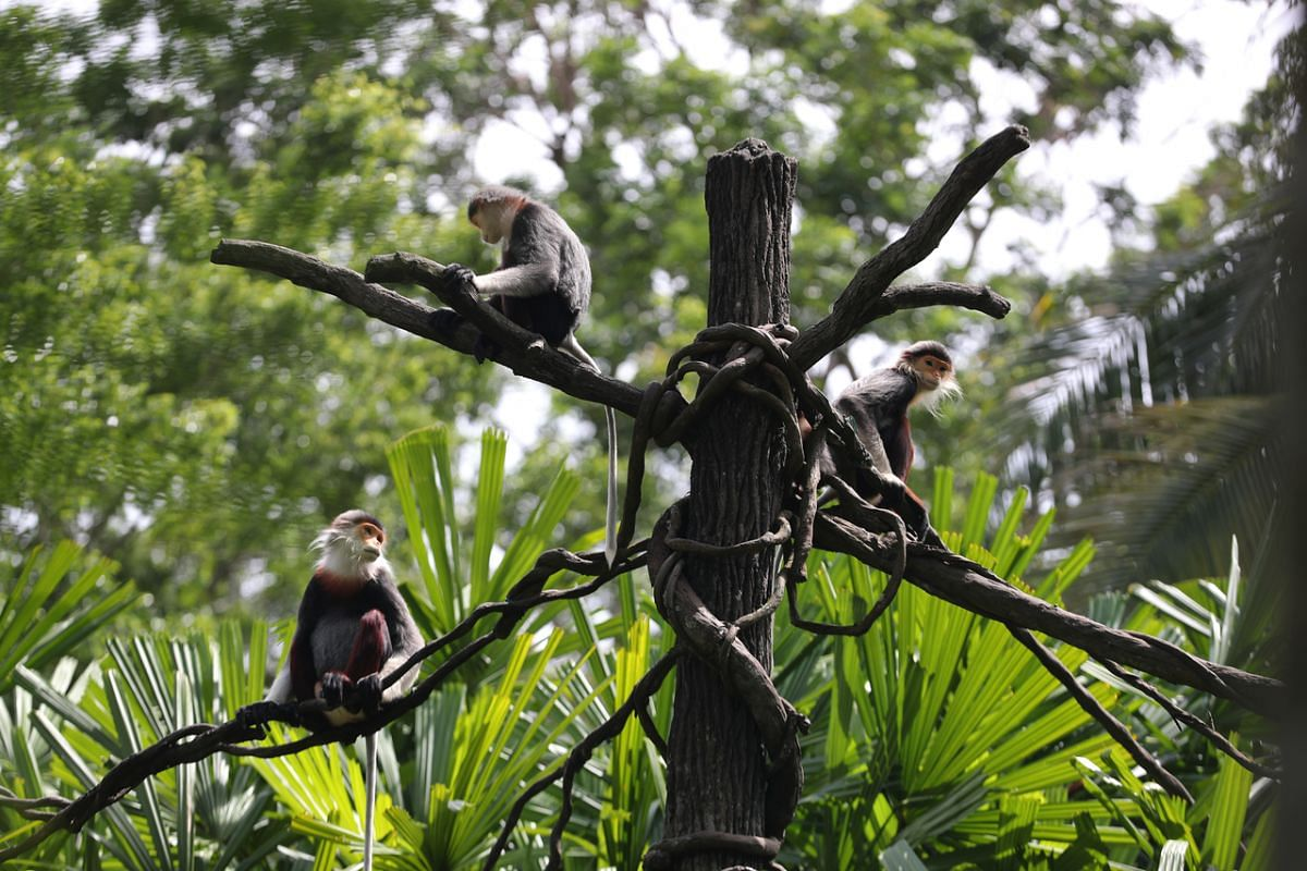 Red-shanked douc langur An Dung (right) with its family unit in Primate Kingdom at the Singapore Zoo on Feb 18, 2020.