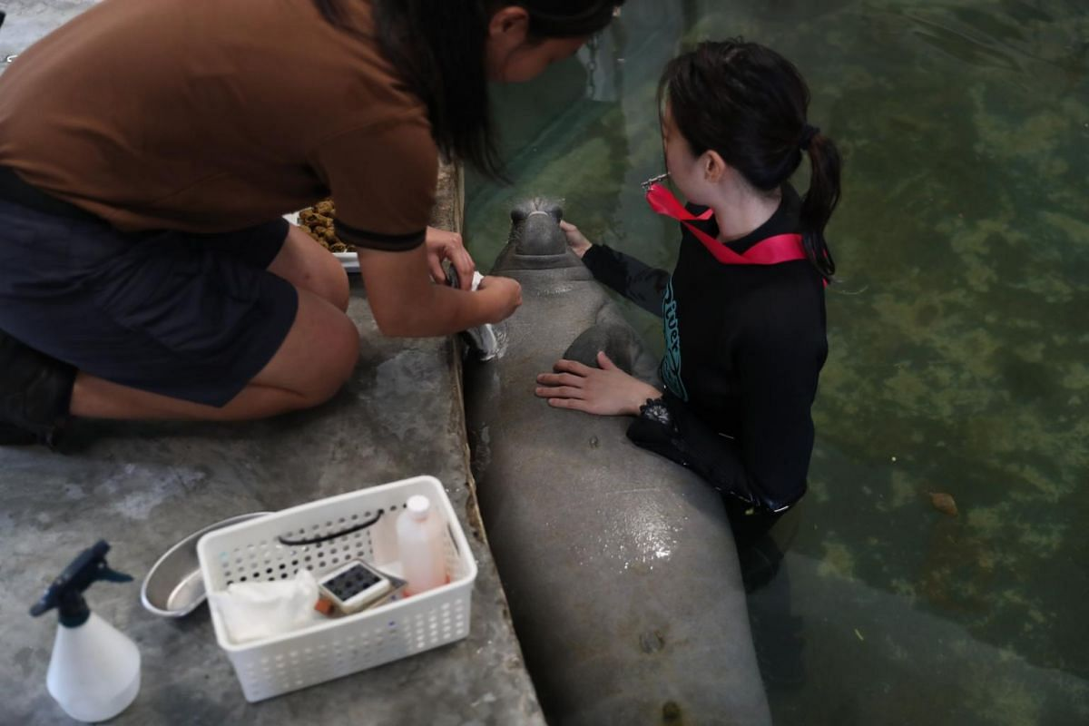 River Safari's aquarists Joan Tan and Dona Loh conduct medical conditioning on a manatee calf to get the animal used to future medical procedures such as blood draw at the River Safari on Feb 18, 2020.
