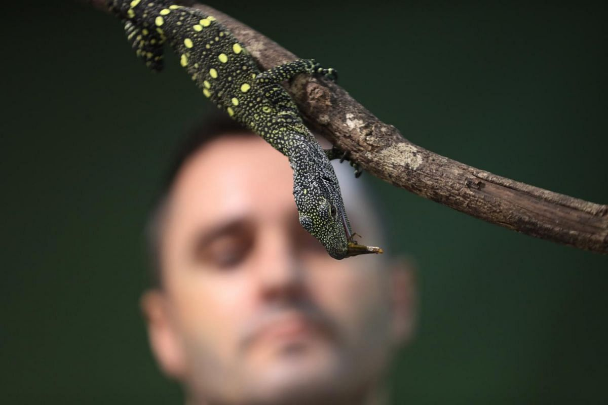 A crocodile monitor hatchling during feeding time at the Singapore Zoo on Feb 18, 2020.