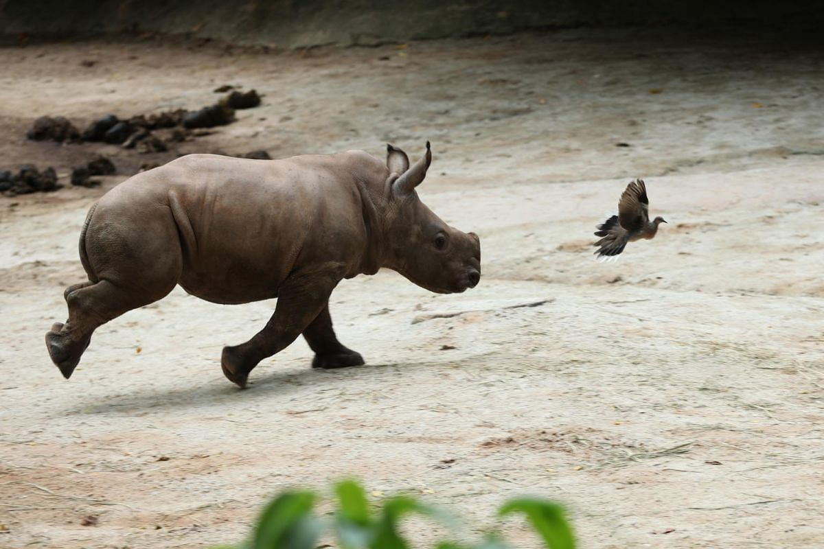 White rhinoceros calf Dalia runs about in her enclosure chasing birds at the Singapore Zoo on Feb 18, 2020.