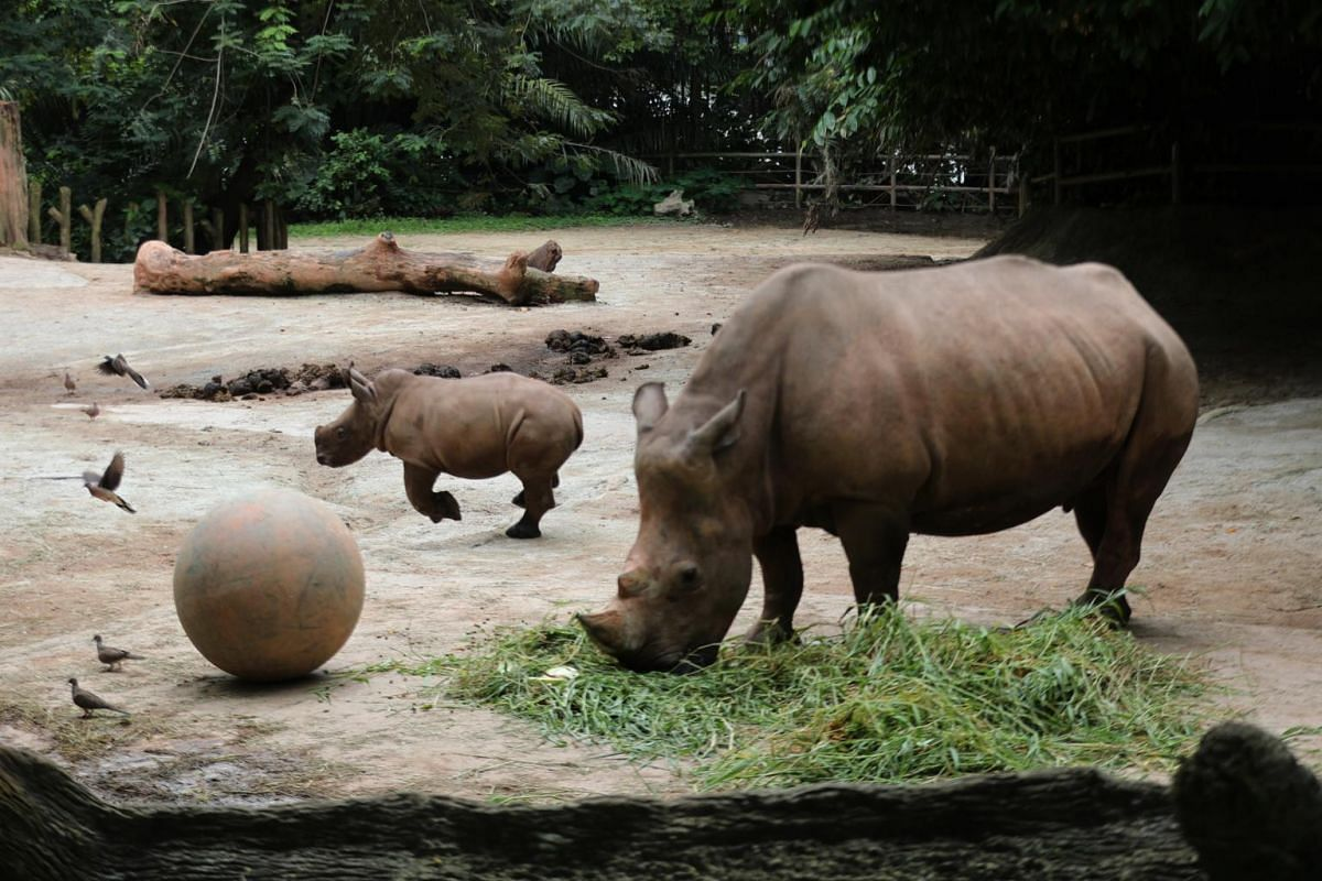 White rhinoceros calf Dalia runs about in her enclosure chasing birds at the Singapore Zoo as her mother is is being fed on Feb 18, 2020.