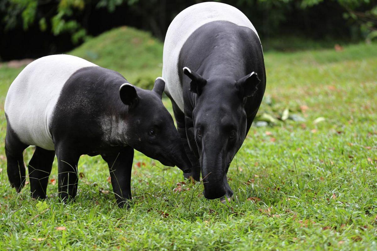 Malayan tapir calf Sutera and her mother during feeding time at the Night Safari on Feb 18, 2020.