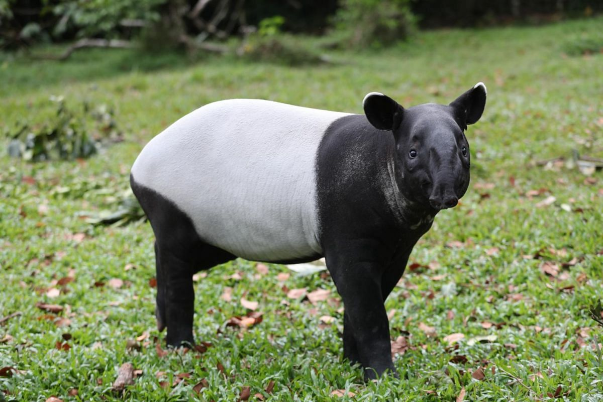 Malayan tapir calf Sutera during feeding time at the Night Safari on Feb 18, 2020.