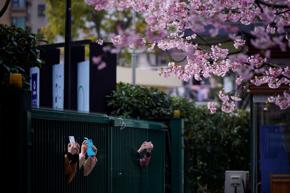 People take pictures of blooming cherry blossoms outside an entrance of a closed park as the country is hit by an outbreak of the novel coronavirus, in Shanghai, China March 6, 2020. PHOTO: REUTERS