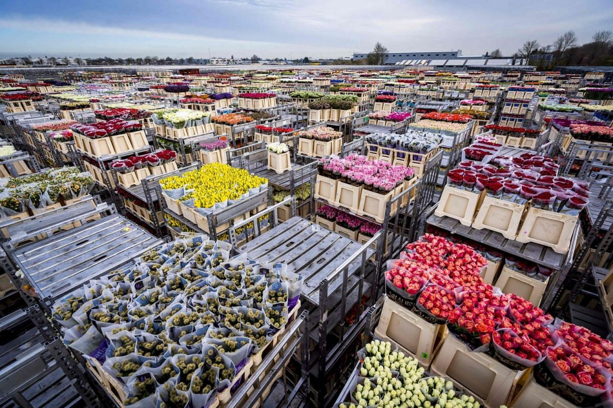 Flowers are stored prior to their destruction at the flower auction, on March 16, 2020 in Aalsmeer. The Dutch horticultural sector is sounding the alarm about the effects of the coronavirus crisis. Due to the loss of demand, the auctions are struggli