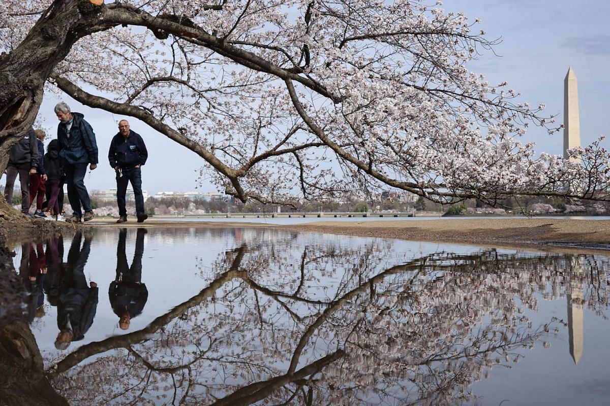 Normally crowded shoulder-to-shoulder with thousands of visitors this time of year, the path under the cherry trees along the Tidal Basin is nearly empty as peak bloom approaches March 18, 2020 in Washington, DC. PHOTO: GETTY IMAGES/AFP