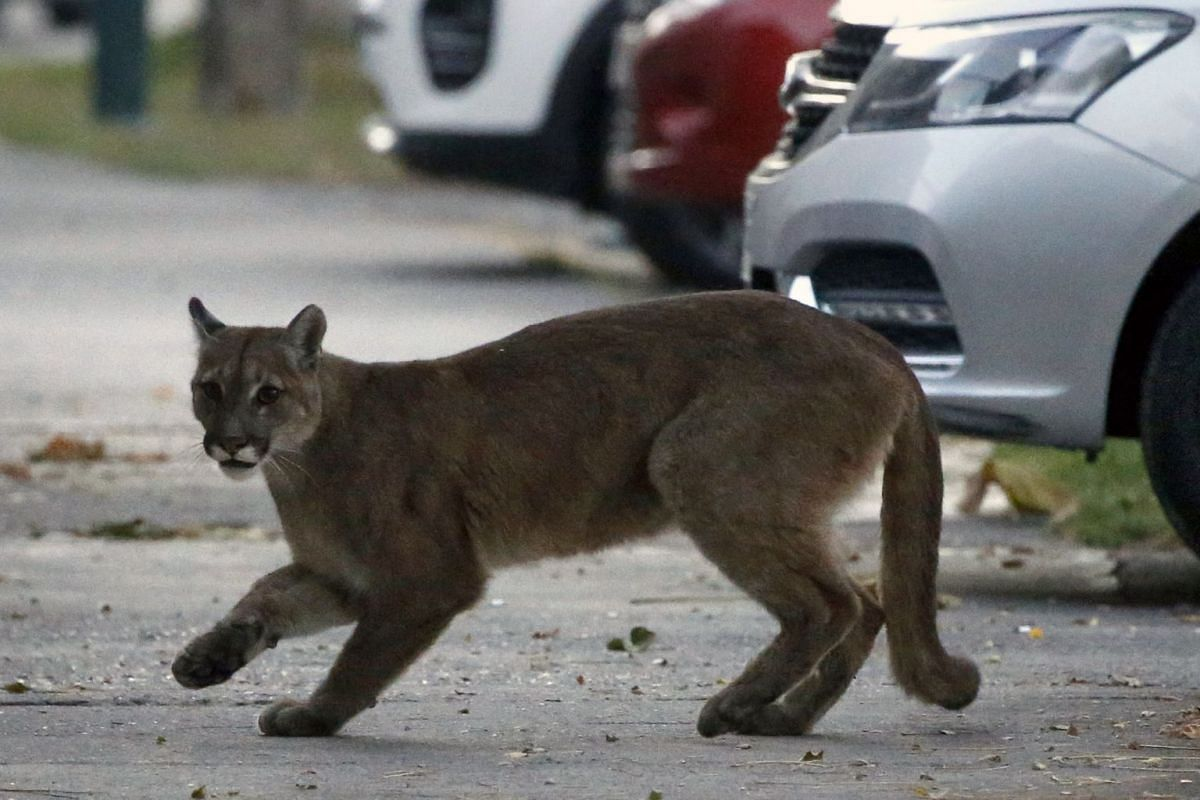 An approximately one-year-old puma in the streets of Santiago, Chile, on March 24, 2020.