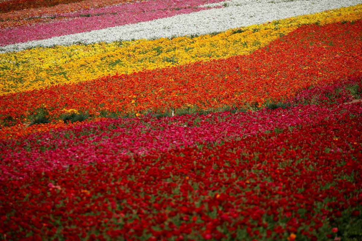 Fields of flowers usually crowded with tourists and onlookers sit empty in Carlsbad, US, on March 25, 2020.