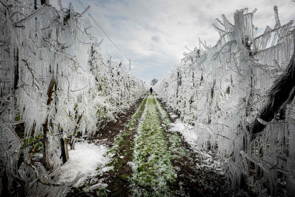 A man walks through an alley of artificially frozen apple trees covered with melting ice in an apple orchard outside the village of Miloslavov-Alzbetin Dvor near Bratislava, Slovakia, on March 25, 2020.
