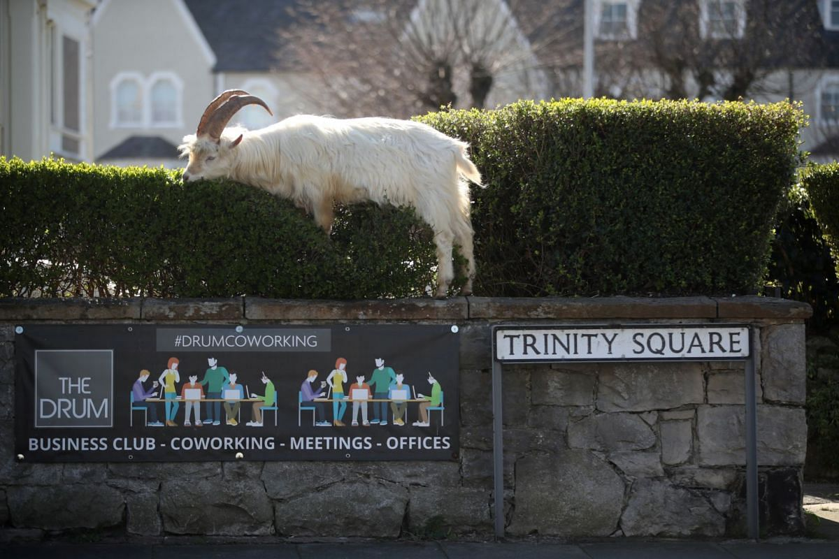 A goat is seen in Llandudno, Wales, on March 31, 2020.