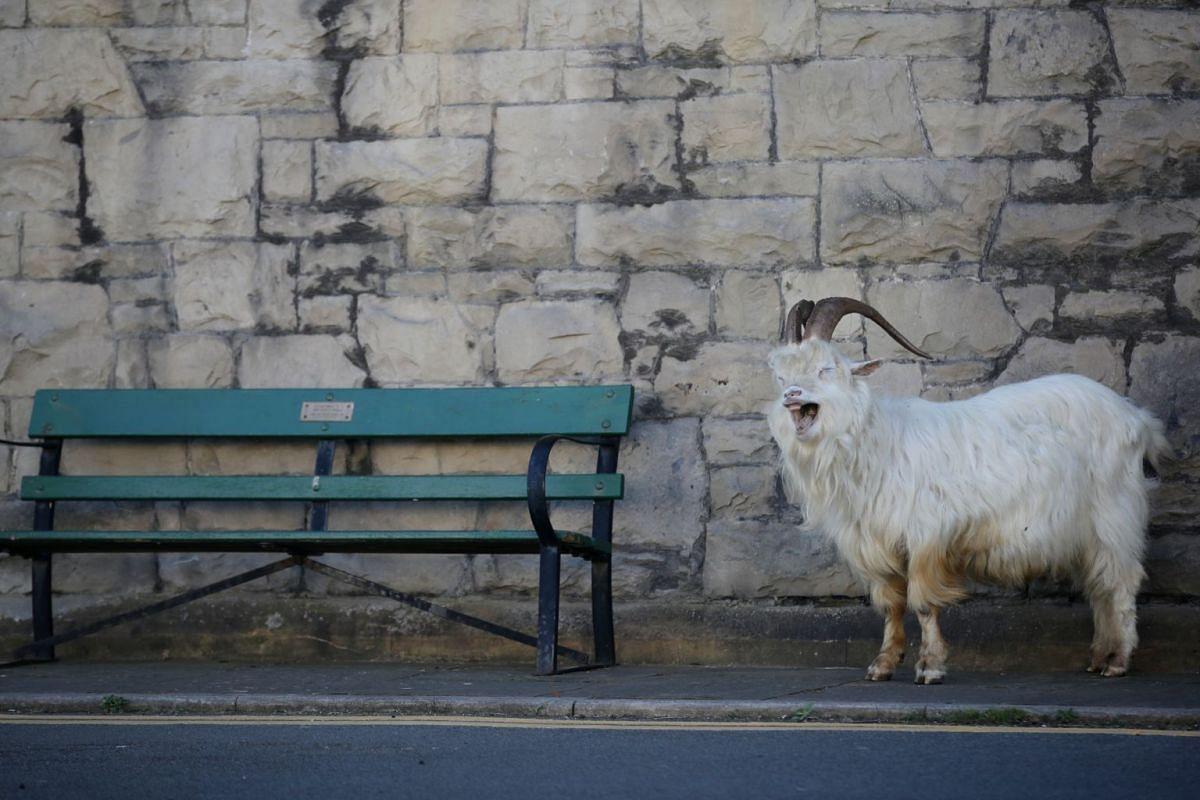 A goat is seen outside a church in Llandudno, Wales, on March 31, 2020.