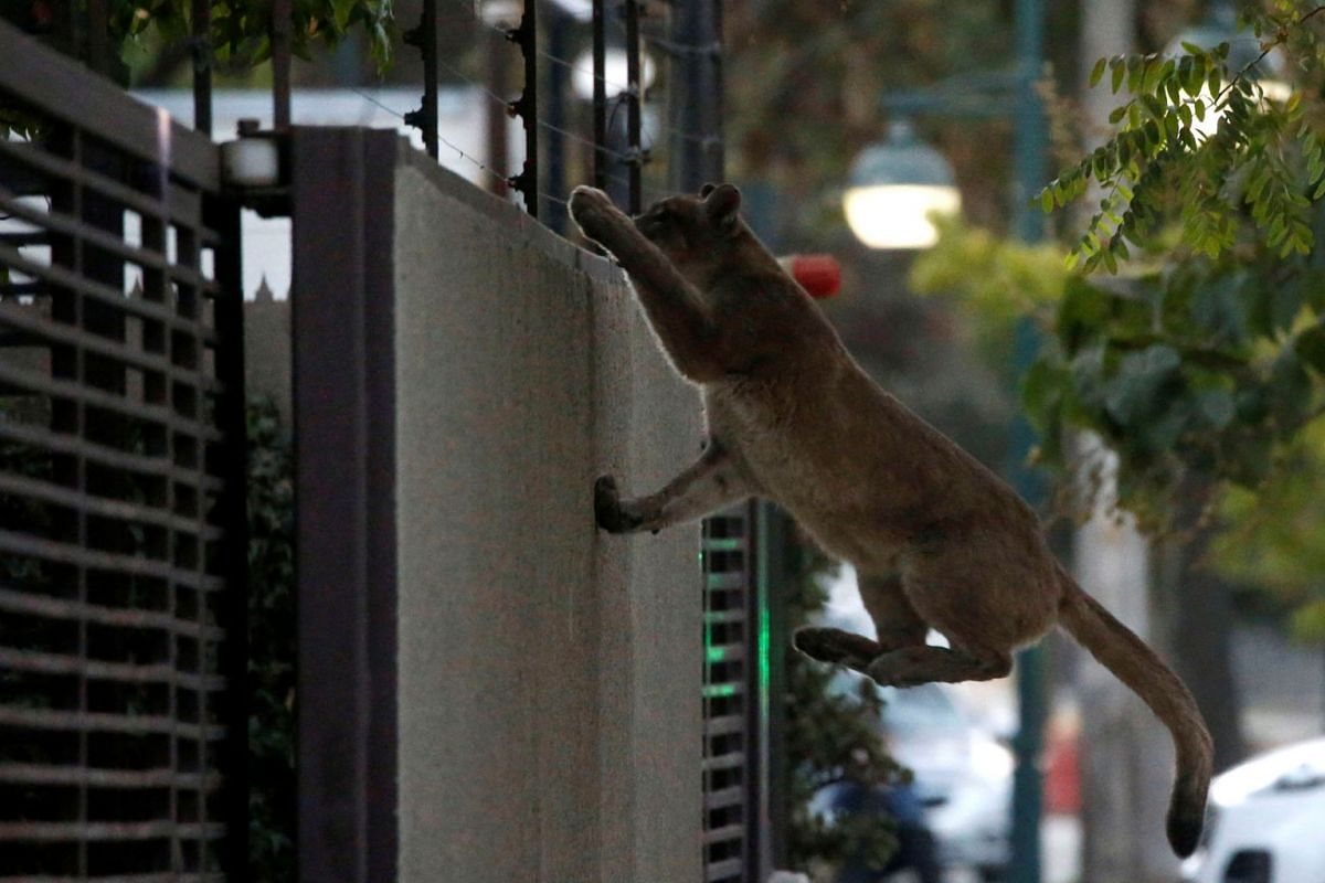 A puma climbs a wall during dawn in a neighbourhood before being captured and taken to a zoo, in Santiago, Chile, on March 24, 2020.