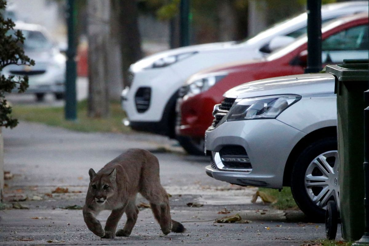 A puma walks along a street during dawn in a neighbourhood before being captured and taken to a zoo in Santiago, Chile, on March 24, 2020.