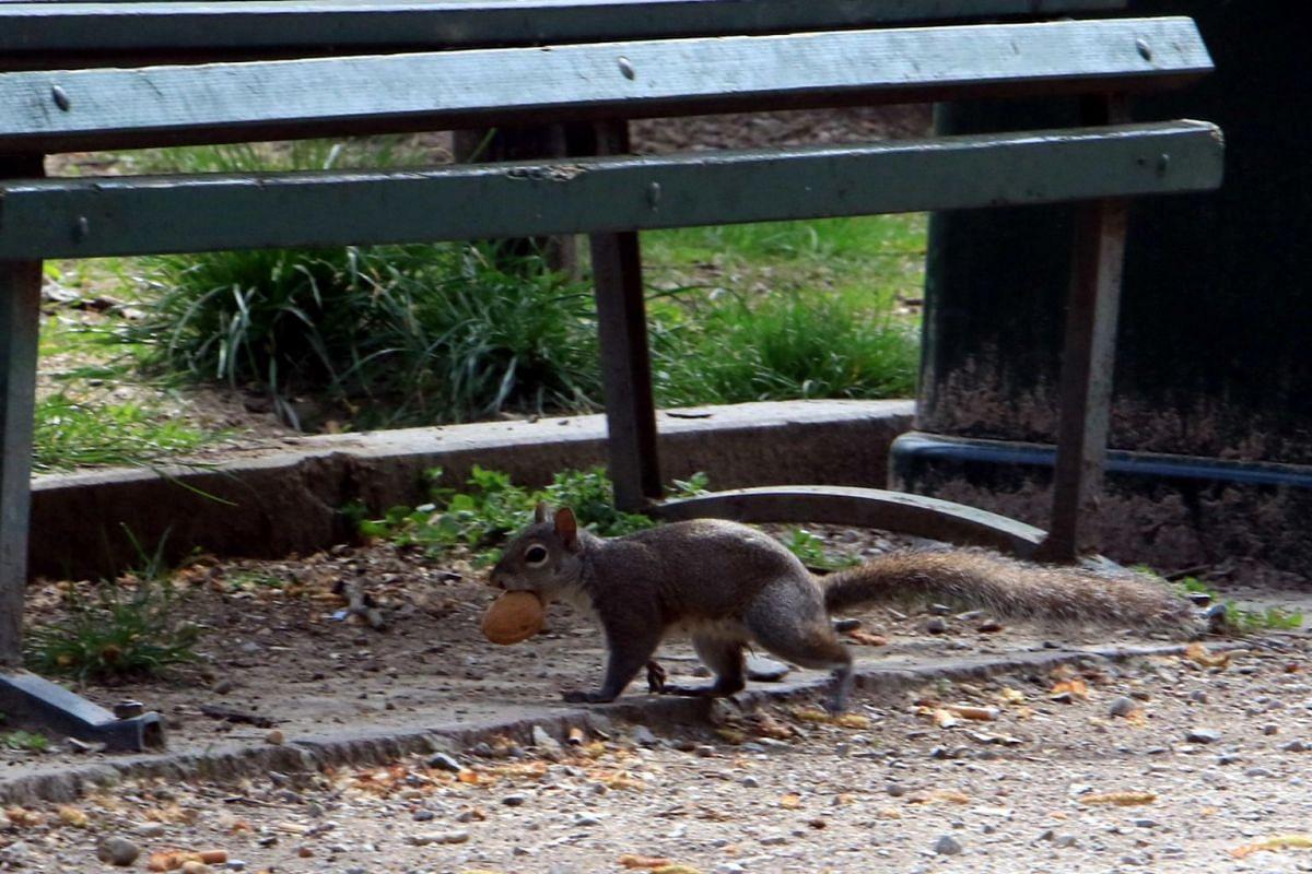 Squirrels roam undisturbed inside Solari Park, emptied due to the coronavirus emergency lockdown, in Milan, Italy, on March 29, 2020.