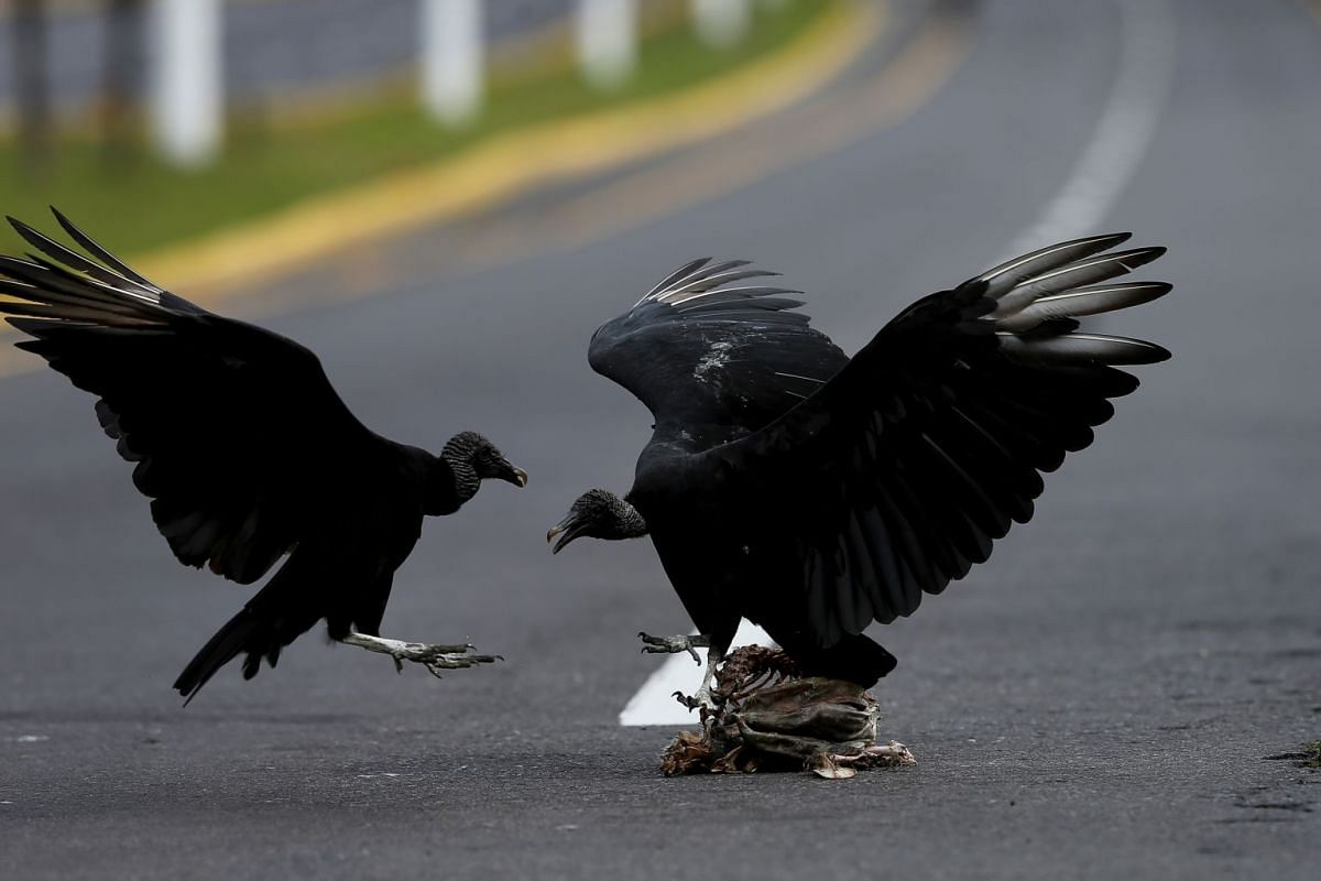 A view of black vultures feeding on a carcass on a highway outside Quito, Ecuador, on March 29, 2020.