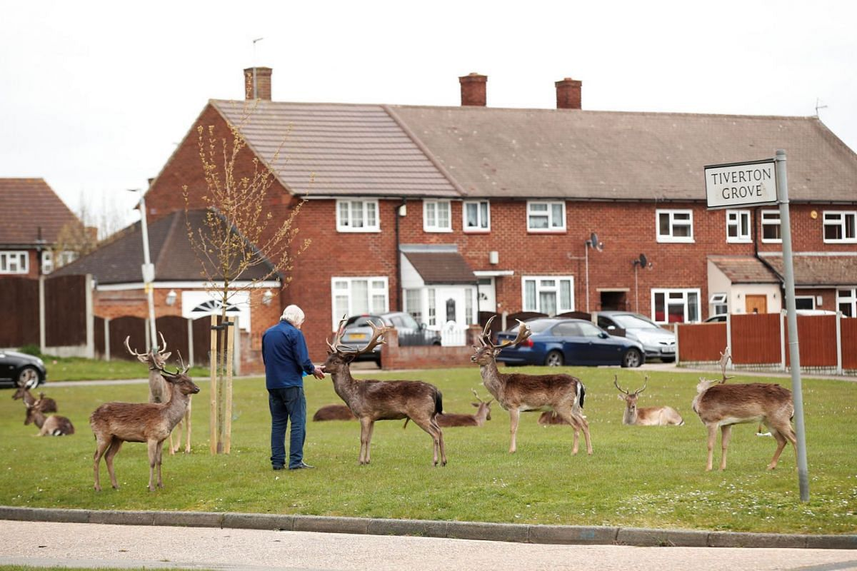 A man feeds deer in Harold Hill housing estate in Romford as the spread of the coronavirus disease (COVID-19) continues, Romford, Britain, April 3, 2020. PHOTO: REUTERS