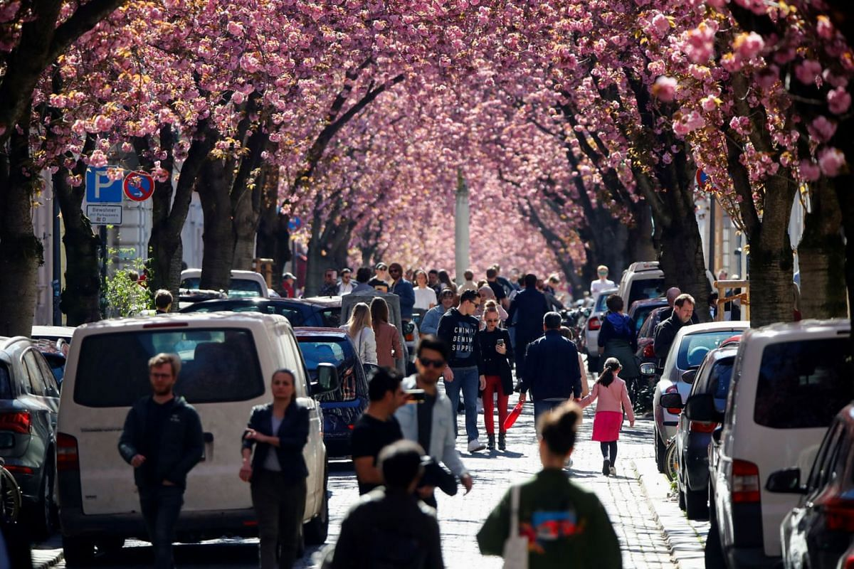 Despite of the lock-down due to the spread of the coronavirus disease (COVID-19), people gather in Heerstrasse also known as the Cherry Blossom Avenue, a magnet for tourists from all over the world during blossom-time, in Bonn, Germany April 5, 2020.