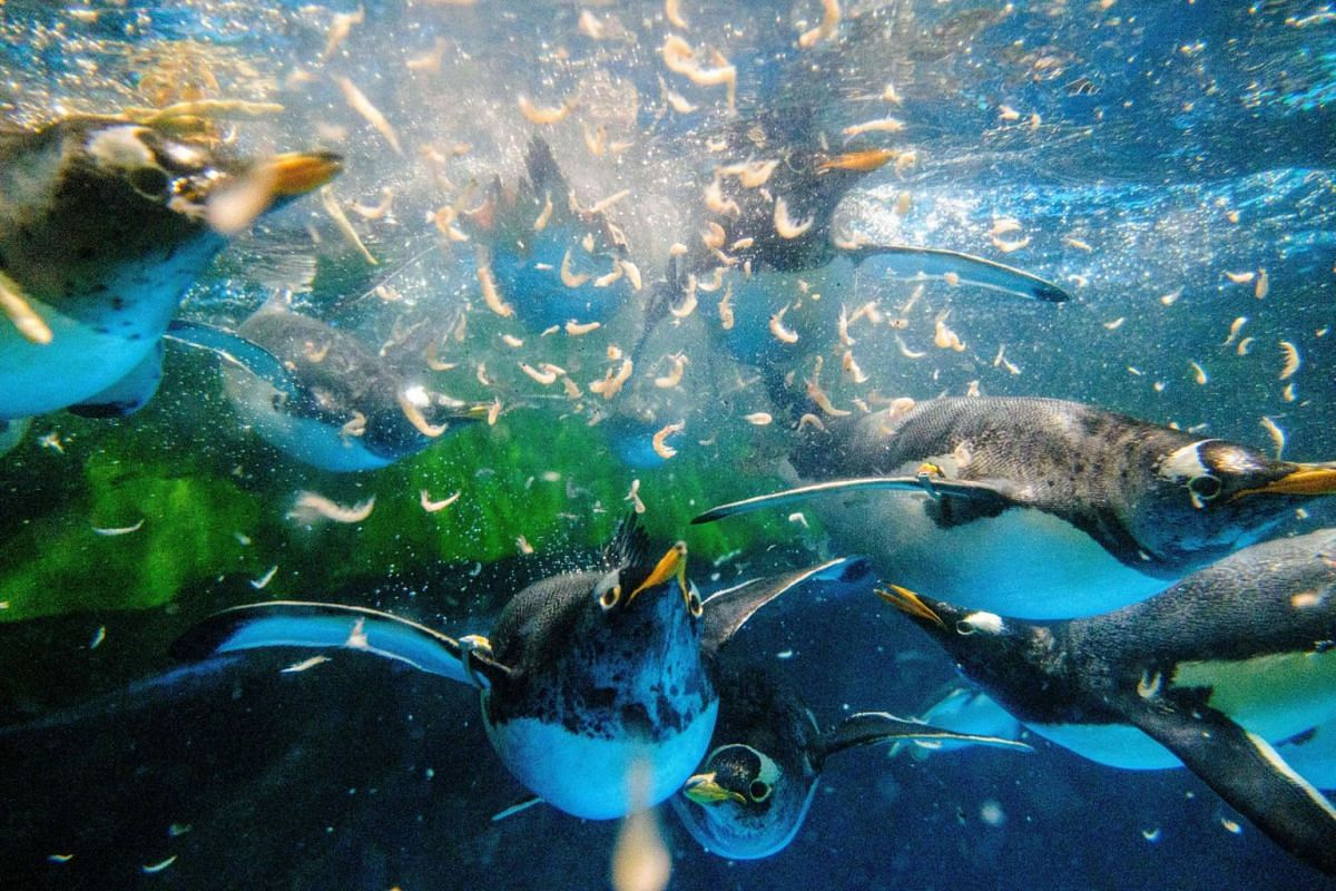 This picture taken on May 4, 2020 shows gentoo penguins chasing krill during feeding time in their enclosure at the Ocean Park theme park, which is currently closed due to the Covid-19 novel coronavirus, in Hong Kong. PHOTO: AFP