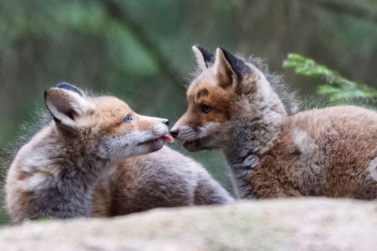Fox cubs play in a forest near the village of Loshany, Belarus May 17, 2020. PHOTO: REUTERS