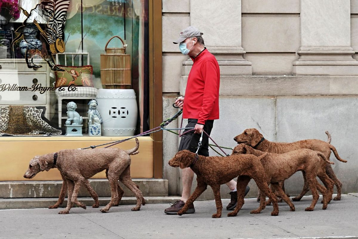 A man walks six identical dogs while wearing a protective mask during the coronavirus pandemic on May 18, 2020 in New York City. PHOTO: GETTY IMAGES/AFP