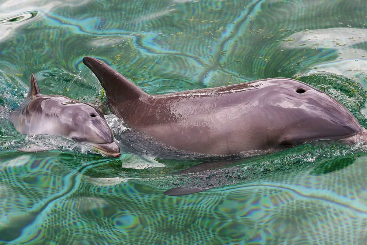 A baby dolphin, born during the coronavirus pandemic, swims with his mother in the 'Marineland' zoological park in the French riviera city of Antibes, southern France, on May 19, 2020. PHOTO: AFP