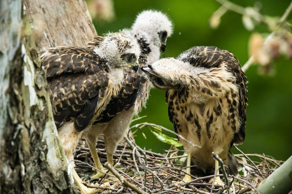 Three red-shouldered hawk chicks crowd a nest in Rock Creek Park in Washington, DC, USA on May 20, 2020. PHOTO: EPA-EFE