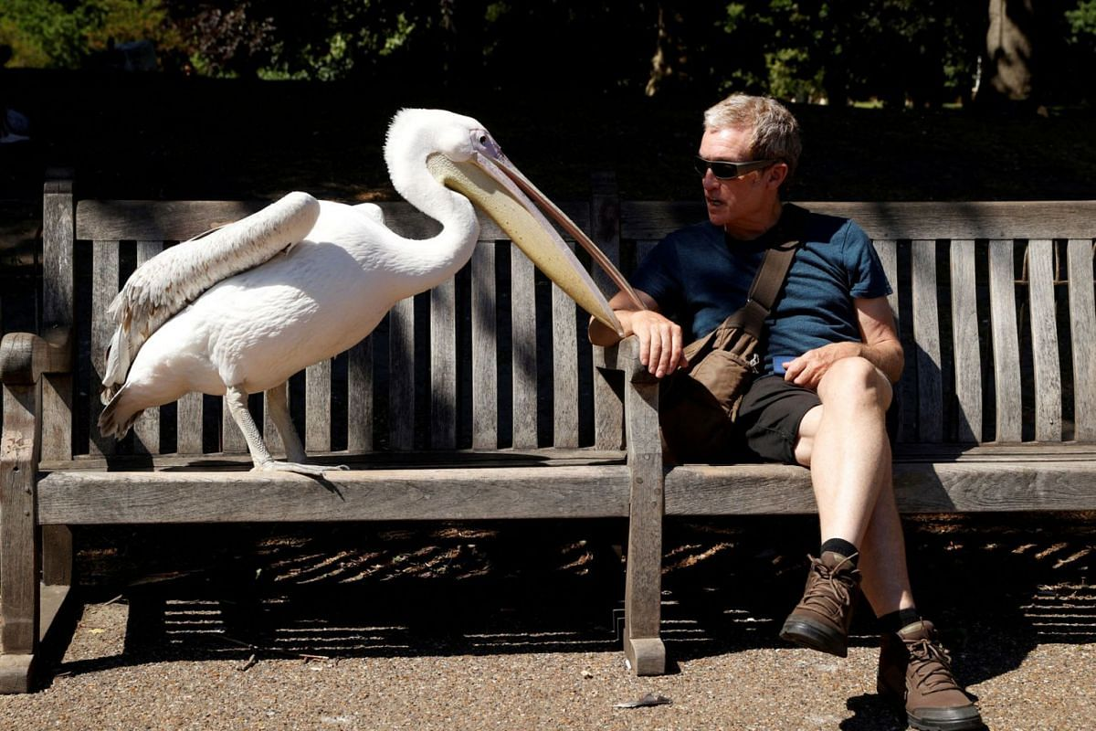 A man is seen with a pelican in St James's Park in London, on May 21, 2020. PHOTO: REUTERS