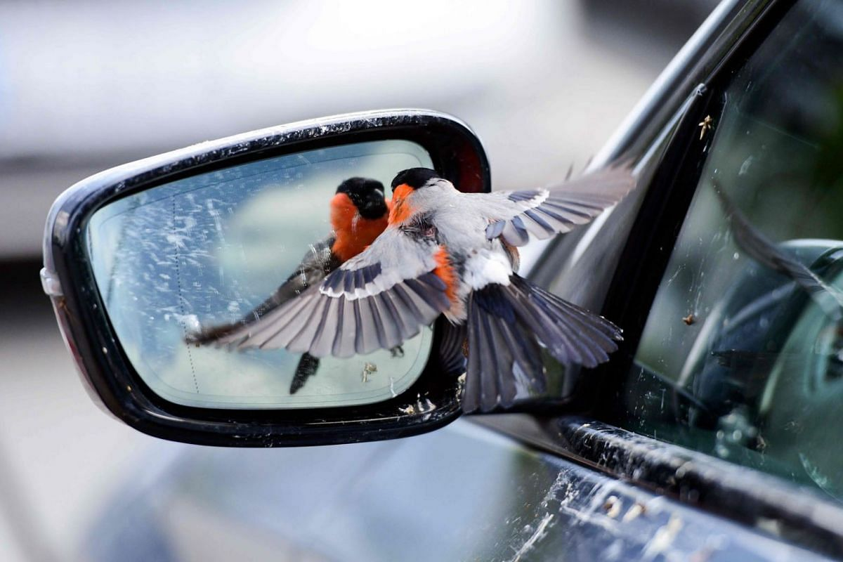 A bullfinch bird sees himself in the mirror of a car in Rheda-Wiedenbrueck on June 19, 2020. PHOTO: AFP