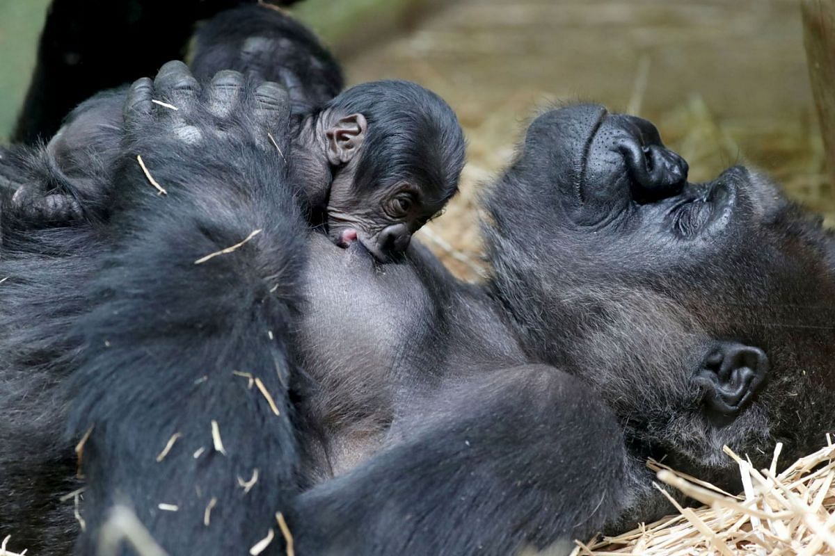 A new born baby Western lowland gorilla is seen with its mother Mambele at the Antwerp zoo in Antwerp, Belgium June 25, 2020. PHOTO: REUTERS
