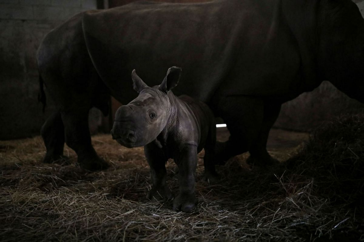Atanasio, a ten-day-old white rhino calf, stands next to his mother Hanna, as the first white rhino born in captivity in Latin America at the Buin Zoo in Santiago, Chile, on July 15, 2020. PHOTO: REUTERS
