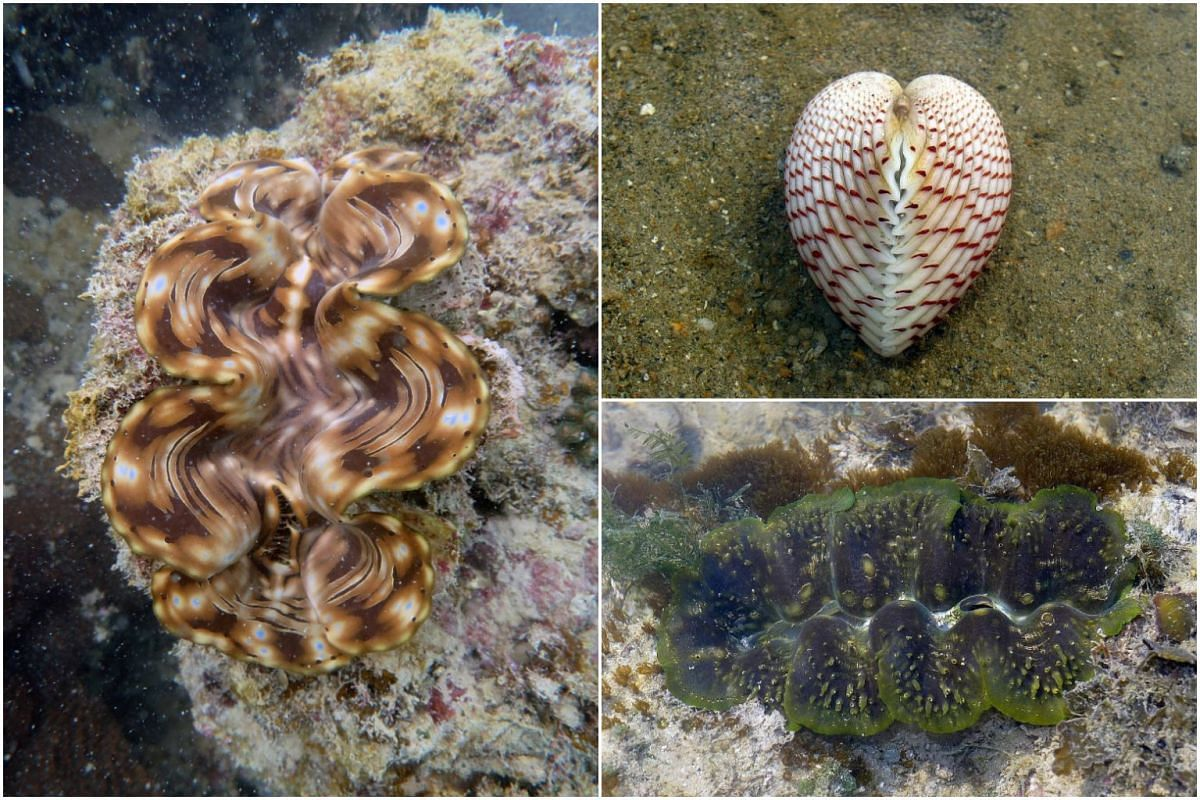 (Clockwise, from left) The fluted giant clam, strawberry cockle and boring giant clam are among cockle species here known to make their own food.
