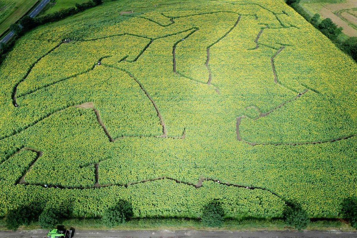 An aerial view shows people navigating their way through a sunflower maze in the village of Tarbock near Liverpool, north west England on July 25, 2020. PHOTO: AFP