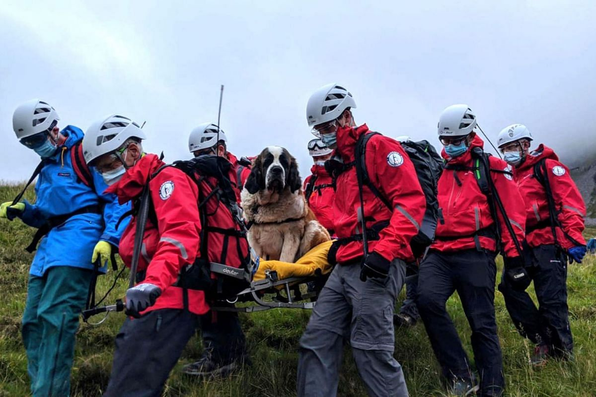 A handout picture released by Wasdale Moutain Rescue on July 26, 2020 shows volunteers carrying Daisy, a 55kg St Bernard dog down from Scafell Pike, one of England's highest peaks near Grasmere in north-west England, after it was stranded on the moun