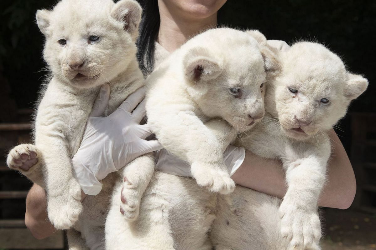 A keeper holds one-month-old female white lion cub (Panthera leo krugeri) triplets in their outdoor enclosure in Nyiregyhaza Animal Park in Nyiregyhaza, Hungary, July 27, 2020. PHOTO: EPA-EFE