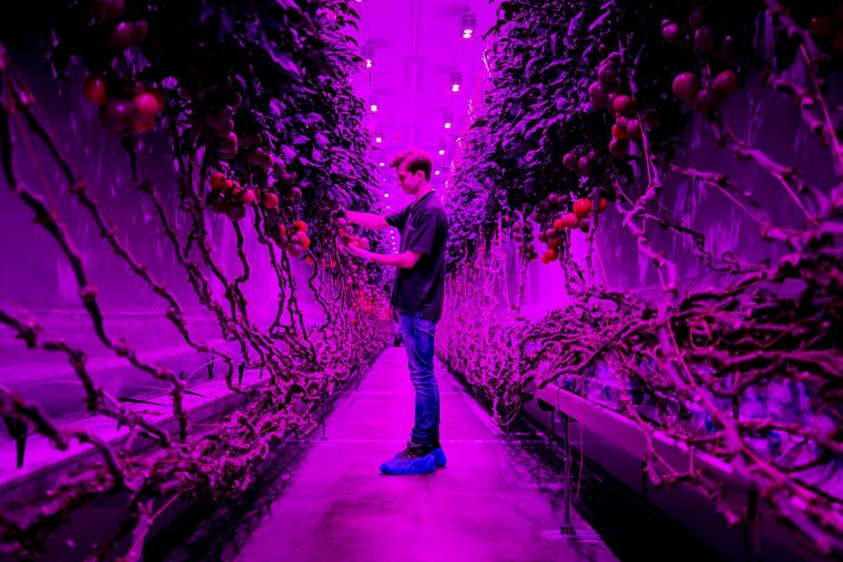 The PlantLab production hall, in Amsterdam, the Netherlands, July 29,  2020. The company grows crops in high-tech cultivation areas, which no longer require daylight and can be grown in stacked layers. PHOTO: EPA-EFE