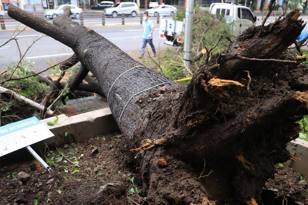 An uprooted tree in the city of Jeju on Sept 3, 2020.