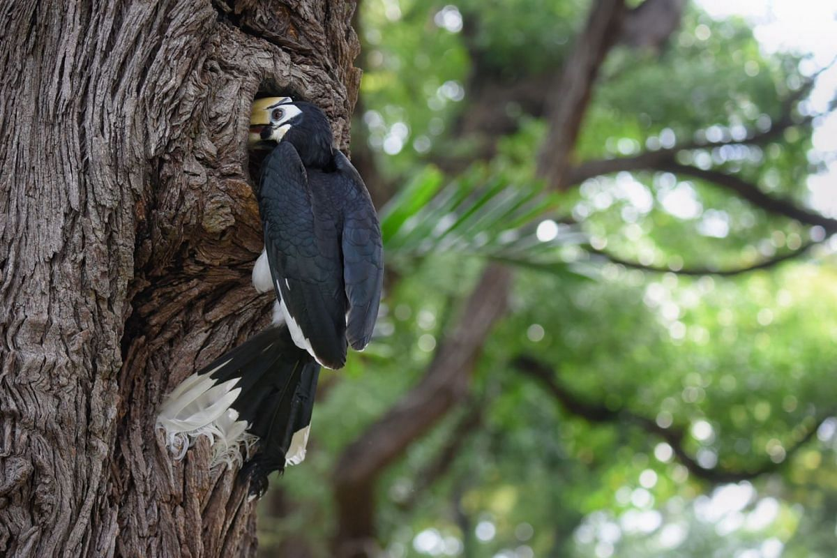 A Hornbill is seen on a tree at Pearl's Hill City Park on September, 7, 2020. PHOTO: THE STRAITS TIMES/MARK CHEONG
