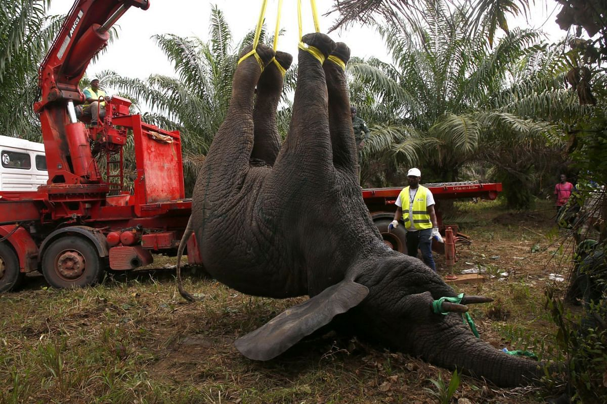 Agents of the special services of Ivorian Water and Forests, preparing a truck to transport an elephant captured in the department of Sikensi in Ivory Coast, September 10, 2020 as part of an elephant relocation operation. PHOTO: EPA-EFE