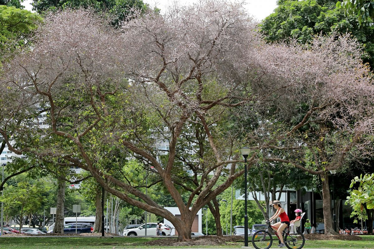 Cyclists ride past Pink Mempat trees at Marine Cove, East Coast Park on Sept 10, 2020. The Pink Mempat (Cratoxylum formosum) is a medium to large sized tree which is 45 m tall in habitat, but is normally much shorter in cultivation.