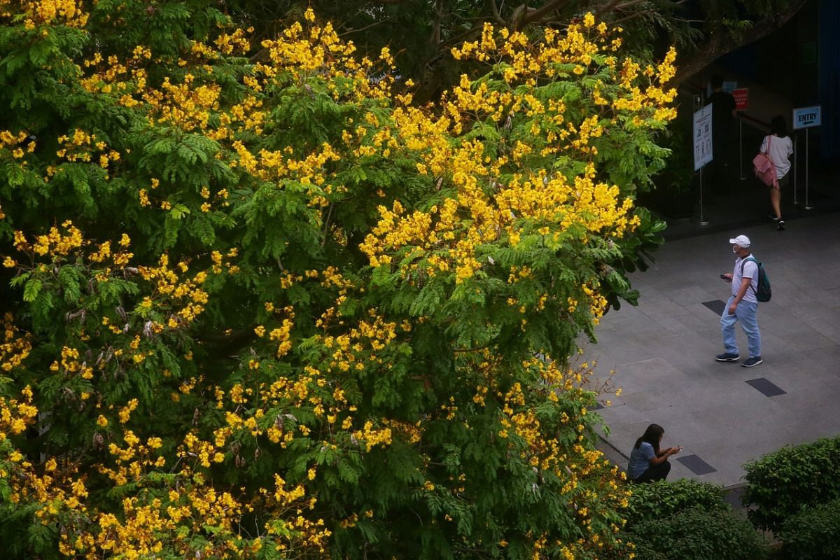 The canopy of the Yellow Flame tree, which has bunches of bright yellow blooms measuring about three centimetres in size, along Tiong Bahru Road on Sept 11, 2020. It is widely planted along roadsides for its wide beautiful crown and bright yellow, fu