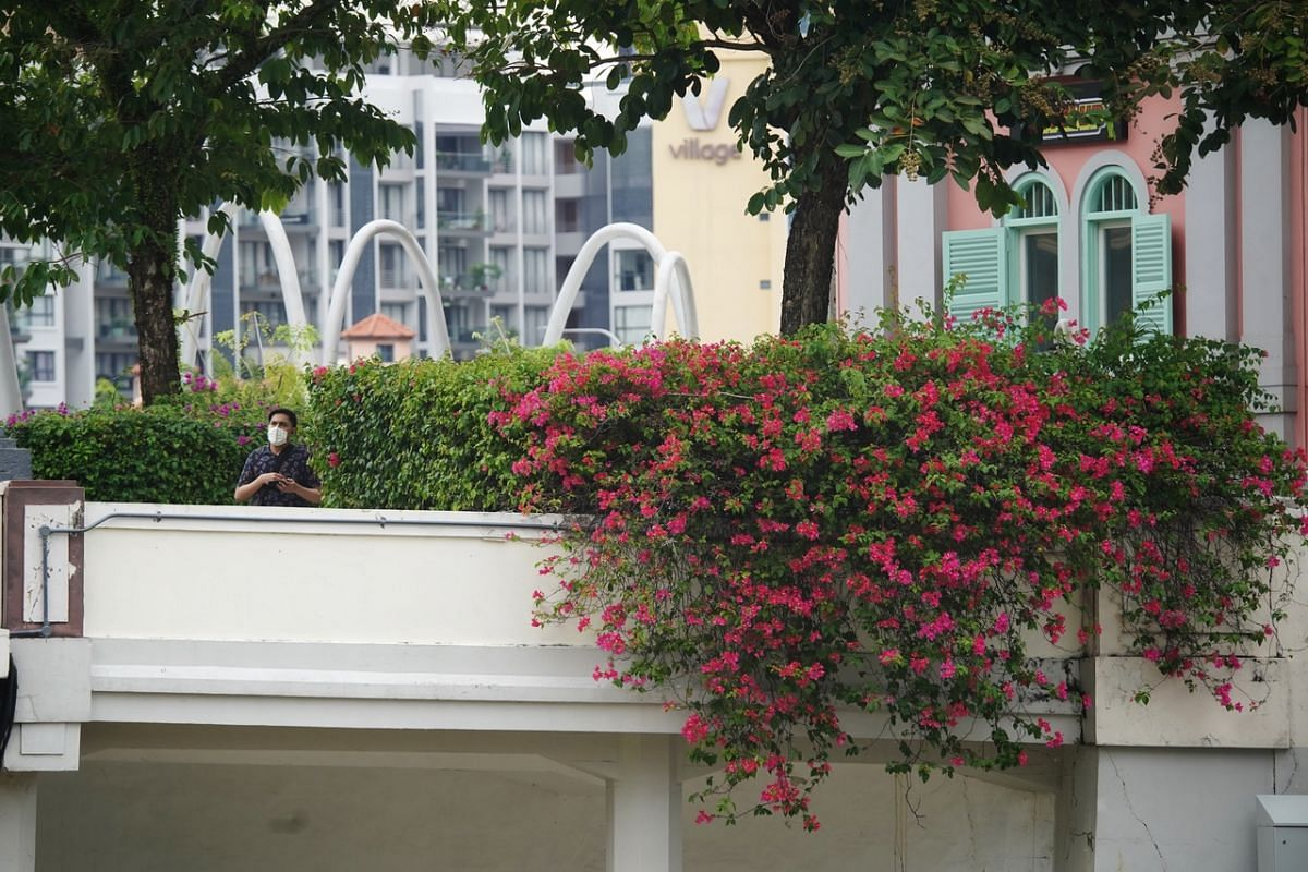 Bougainvillea at Read Bridge at Clarke Quay photographed on Sept 11, 2020. The shrubs can grow as tall as trees and come in a variety of bright colours, including magenta, white, orange and crimson. Although the plant is native to tropical South Amer