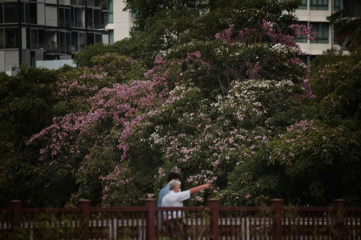 Trumpet Trees (Tabebuia rosea) blooming along the Singapore River near Kim Seng Road on Sept 4, 2020. These large and showy flowers bear five petals and create an impressive flowering display. When they fall, they retain their colour for a few days,