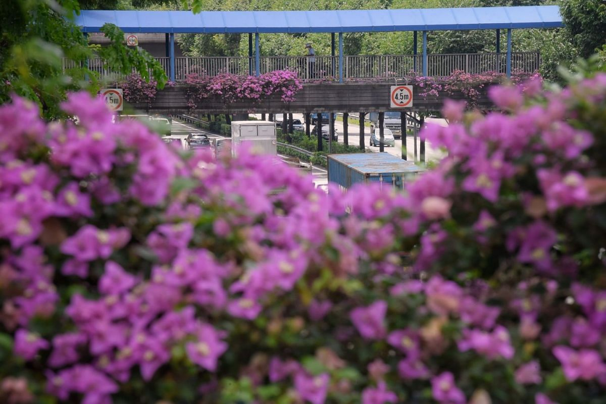 An overhead bridge in Lorong 1 Toa Payoh last Wednesday, decked in bougainvillea that had blossomed profusely in the recent wet weather. Bougainvillea is grown extensively in Singapore because it is a plant that flowers all year round in the Republic