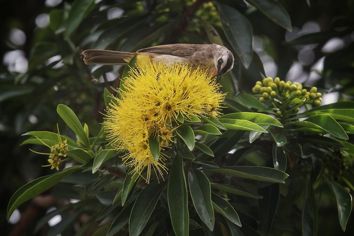 A yellow-vented bulbul searching for insects in the flowers of a golden myrtle tree in Binchang Walk last Friday. The golden myrtle was introduced to Singapore in 1982 from the Australian city of Cairns, where it is the floral emblem.